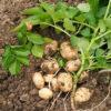 Дни массовой копки картофеля